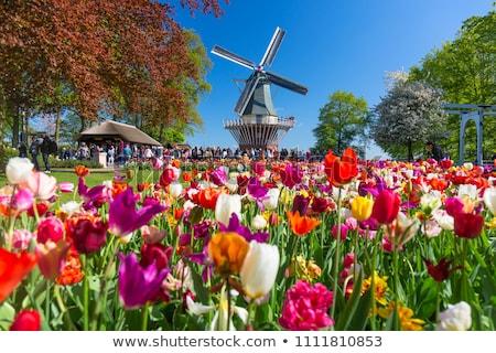 Flowerbed in Keukenhof garden, Nederlands Stock photo © borisb17