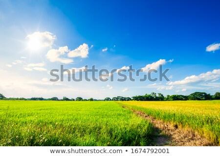 トウモロコシ畑 空 春 花 雲 ストックフォト © tepic