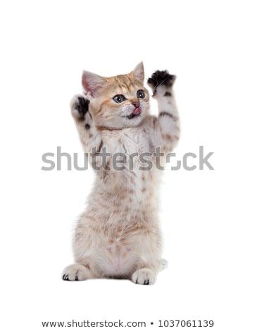 Kitten Standing on Hind Legs Waving Stock photo © tobkatrina