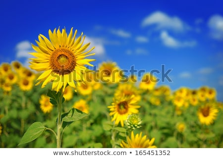 Beautiful Bright Sunflower in the Green Field Stock photo © maxpro