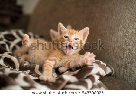 Gatito adorable gatos animales Foto stock © ca2hill