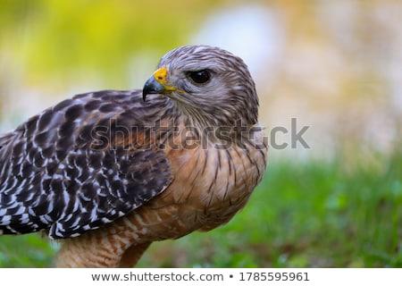 Halcón vuelo aves azul animales aire libre Foto stock © saddako2