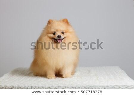 Funny little spitz isolated on white background  Stock photo © Nejron