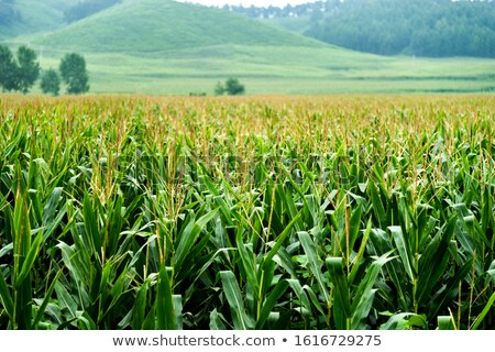 Corn (maize) field Stock photo © EcoPic