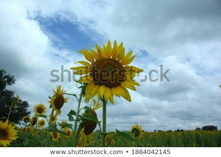 beautiful sunlower in field stock photo © stevanovicigor