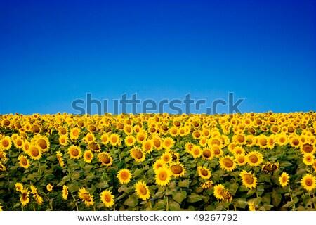 желтый подсолнухи синий глубокий Blue Sky цветок Сток-фото © vtls
