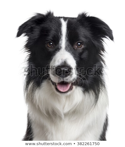 Border Collie Porträt weiß Studio Tier Stock foto © vauvau