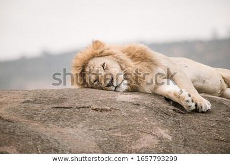 Fektet kövek park Dél-Afrika természet állat Stock fotó © simoneeman