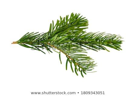 Evergreen tak witte pine christmas Stockfoto © marylooo