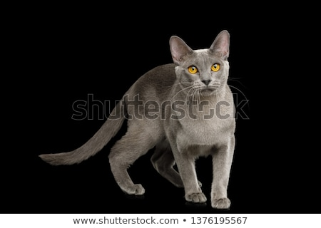 adorable burmese cat standing and looking to side Stock photo © feedough