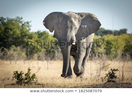 African Elephants Running Stock photo © fouroaks