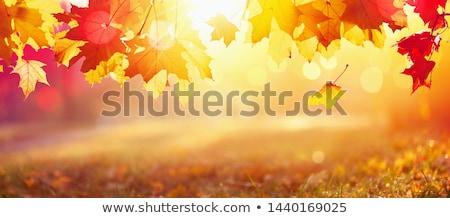 red maple tree leaves stock photo © smithore