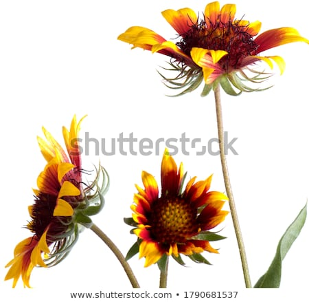 beautiful gazania flower stock photo © wjarek