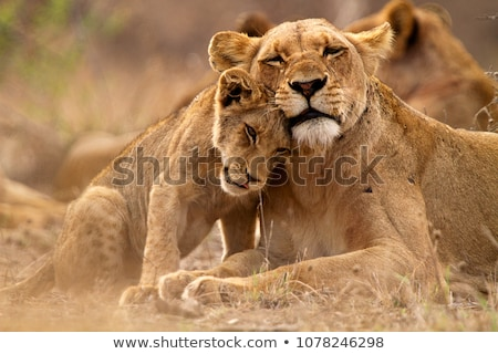African lioness and cub (Panthera leo) Stock photo © ajlber