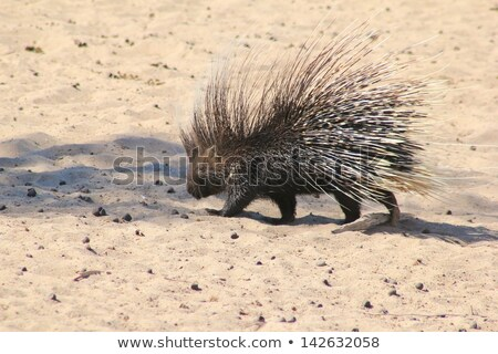 Porcupine from Africa - Security is a thousand quills.  Wild and Free Rodent Stock photo © Livingwild