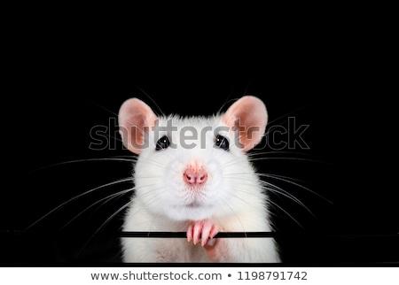 Beyaz sıçan büyük yalıtılmış el fare Stok fotoğraf © silense
