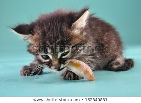 kitten eating fish stock photo © ivonnewierink