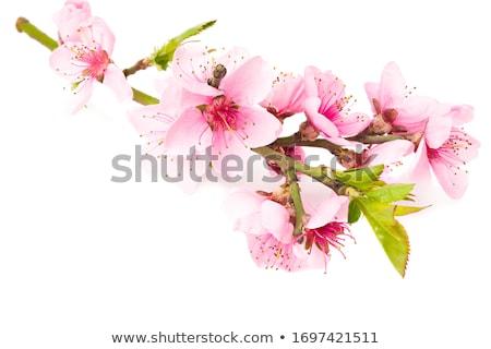 rózsaszín · sakura · virágok · izolált · fehér · tavasz - stock fotó © es75