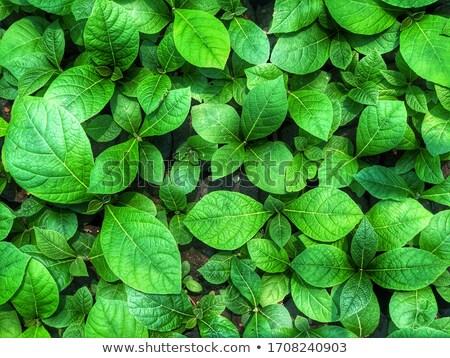 Small teak plant. Stock photo © ziprashantzi