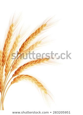 golden wheat ear after the harvest eps 10 stock photo © beholdereye