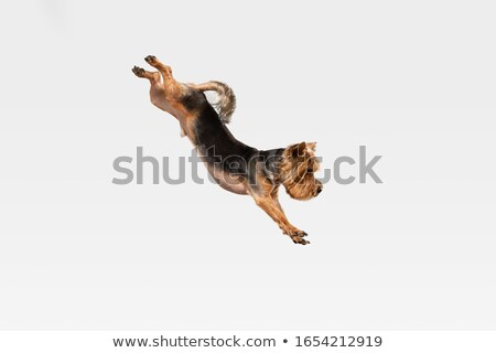 lovely yorkshire terrier looking up in a white studio  Stock photo © vauvau