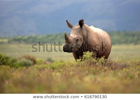 white rhino grazing stock photo © simoneeman