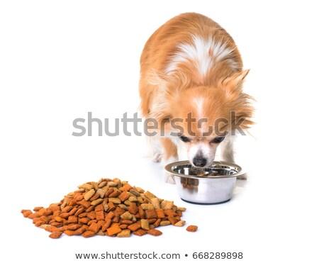 chihuahuas eating in studio stock photo © cynoclub