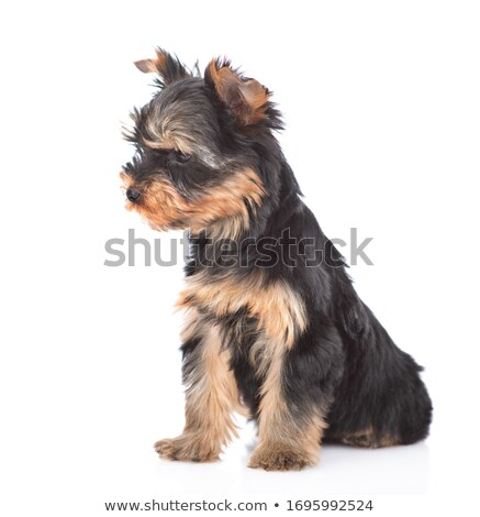 Side View Of A Little Yorkie Puppy