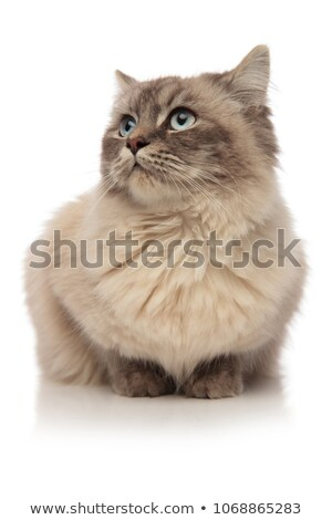 grey furred cat lying looks to the side in awe Stock photo © feedough