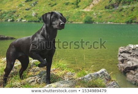 Vrouwelijke zwarte labrador retriever witte puppy Stockfoto © cynoclub