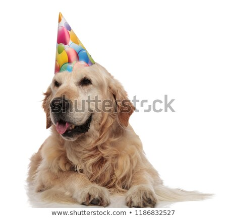 curious labrador panting and waiting for its birthday party stock photo © feedough