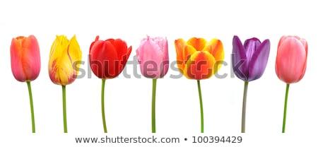 pink tulips flowers in a row group line arrangement stock photo © lunamarina
