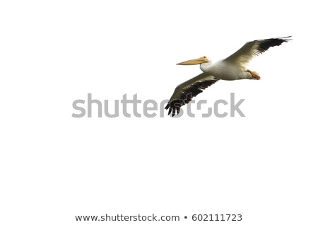 A pelican flying on white background Stock photo © bluering