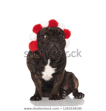 lovely french bulldog wearing red and white fluffy crown Stock photo © feedough