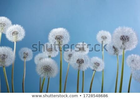 Dandelion fotografia fundo verão Foto stock © silent47