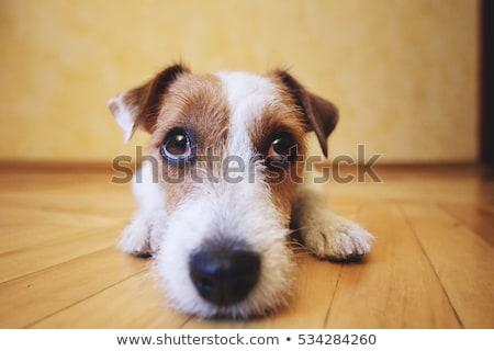 pequeno · jack · russell · terrier · sessão · cinza · cão · diversão - foto stock © lithian