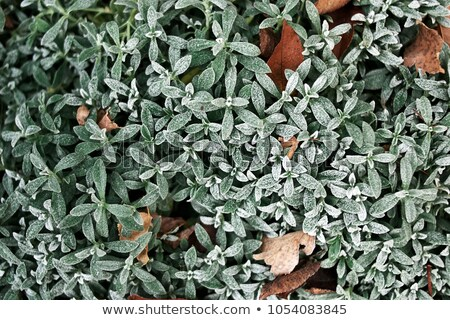мороз листьев текстуры зима фон льда Сток-фото © suerob