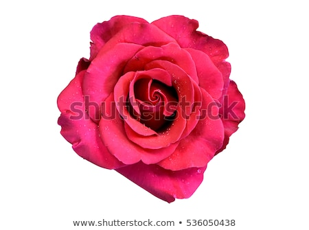 Closeup of beautiful red rose with droplets Stock photo © Arsgera