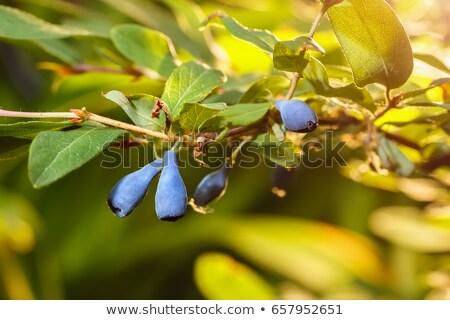 bush of honeysuckle with ripe berry Stock photo © Elmiko