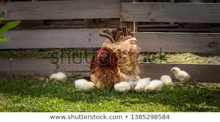 Kura podwórko młoda dziewczyna gry domu kurczaka Zdjęcia stock © val_th