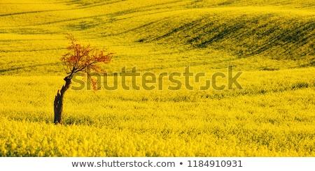 żółte kwiaty dziedzinie niebieski niebo kwiaty wiosną Zdjęcia stock © chesterf