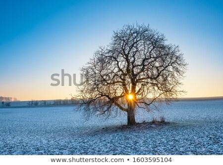 дуб · зима · области · небе · трава · древесины - Сток-фото © mikko