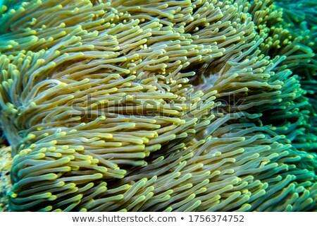 коралловый · риф · морем · мнение · Подводное · плавание · природы · красоту - Сток-фото © thomaseder