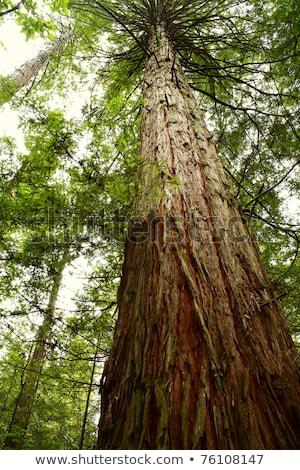 巨大な 木 ツリー 木材 庭園 背景 ストックフォト © antonihalim