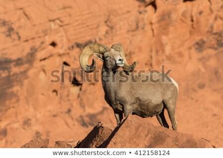 Desert Bighorn Sheep Stock photo © feverpitch