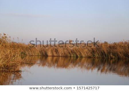 Waterside at autumn, blue water and yellow reed Stock photo © shihina