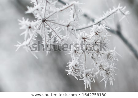 Frosted plants Stock photo © Nneirda