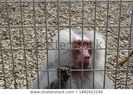 猿 · 種 · 後ろ · バー · 監禁 · 愛 - ストックフォト © oleksandro