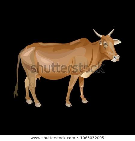 touro · indígena · gado · norte · Namíbia - foto stock © oleksandro