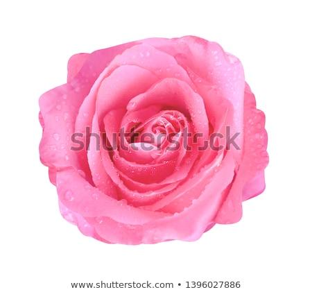 Closeup Of A Wet Pink Rose   Stock photo © Kuzeytac